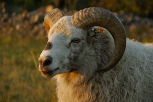 Chinese_Lunar_Zodiac_Ram_Sheep_Goat_Horned_Namesake